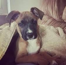 australian shepherd boxer mix australian shepherd boxer mix puppies australian shepherd boxer