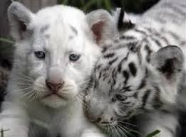 lions for sale lion cubs for sale in for sale united states 1