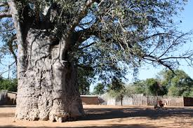 africa s tree the skyline of a namibian stay