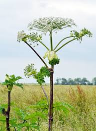 giant hogweed and grapefruit health effects of furanocoumarins