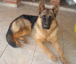 belgian sheepdog south africa german shepherds best dogs in the world boston john