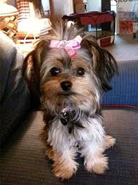 short haired dorkie mixes lola with a bow yorkie and chihuahua mix cute yorkie