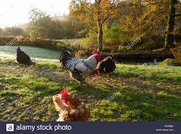 freerange cockerel and hens stock photos u0026 freerange cockerel and
