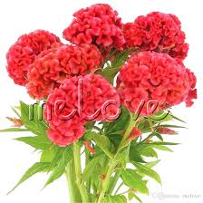 cockscomb flower 2018 1000 cockscomb flower seeds velvet celosia