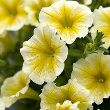petunia flowers petunia