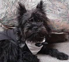 affenpinscher dogs for sale affenpinscher dog images affenpinscher dog images affenpinscher