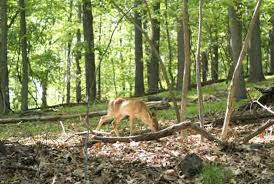 Pennsylvania forest images Too many deer a bigger threat to eastern forests than climate jpg