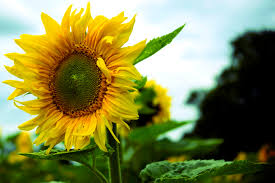single sun flower wallpapers sunflowers a north american crop a moment of science indiana