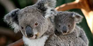 how 12 koalas taught me to talk about life as a parent huffpost