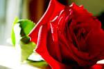 ดอกกุหลาบวาเลนไทน์ - P+K ลั้
