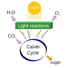cellular respiration and photosynthesis photo pic photosynthesis a chemical
