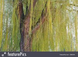 plants weeping willow tree stock image i2946164 at featurepics
