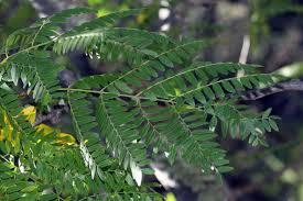 vascular plants of the gila wilderness vascular plants of the gila wilderness gleditsia triacanthos