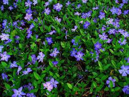 Vinca Flower Information - information about and ordering of vinca minor plants vincaminor nl