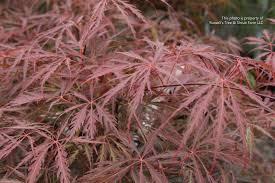 s photo gallery plants trees deciduous ornamental
