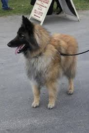 belgian sheepdog calendar belgian sheepherd dog belgian shepherd dog malinois dogs cats