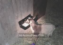 goat supplies how to prepare for nigerian dwarf goats mranimal