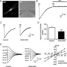 glycine receptor channels in spinal motoneurons are abnormal in a