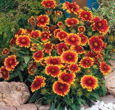 native arizona plants gaillardia arizona sun all america selections