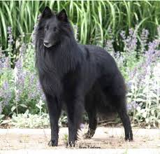 belgian sheepdog groenendael breeder history and purpose abtc