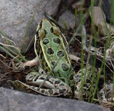 northern leopard frog waterton biosphere reserve located in the