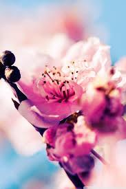 beautiful cherry blossom hd desktop wallpaper widescreen high