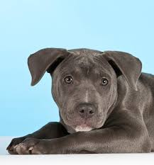 american pit bull terrier life expectancy american staffordshire terrier breed information