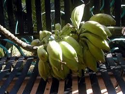 Tiny Banana Wild Bananas La Gringa U0027s Blogicito
