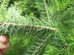 balsam tree balsam fir coniferous forest