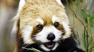 fun facts about cute red pandas climbing eating playing