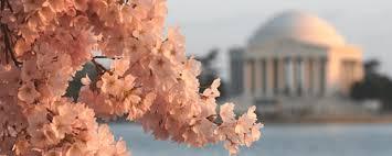homepage national cherry blossom festival