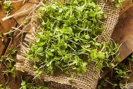 microgreens growing guide homesteading simple self sufficient