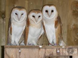 What Does A Barn Owl Look Like Owl Sanctuary For Rescued Owls The Barn Owl Trust