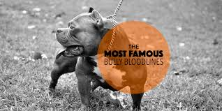 american pitbull terrier wanted the most famous american bully breeders u0026 bloodlines