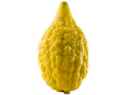 etrog for sale buy etrog citron online