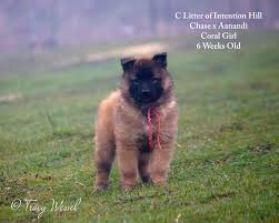 belgian shepherd health problems intention hill intention hill home of belgian shepherds for sar