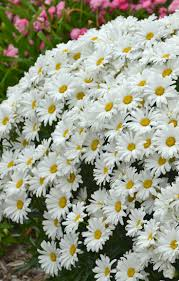 best 25 shasta daisies ideas on pinterest cottage gardens full