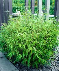plante vivace soleil achetez maintenant une plante vivace bambou u0027rufa u0027 acheter
