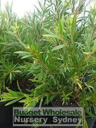 native plant nursery sydney callistemon hannah ray 200mm pot red bottlebrush budget