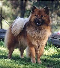 belgian shepherd dog club of canada spitz dog club of western australia