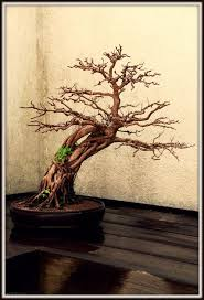 a handsome trunk branches ramifications revealed a bonsai w o