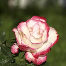 Achat Rosier Grimpant by Rosier Grimpant Jubile Du Prince De Monaco U0027meisponge U0027
