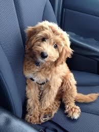 doodle doo labradoodles best 25 mini goldendoodle ideas on dogs cutest dogs