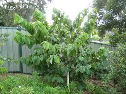 cherimoya white tree annona cherimoya