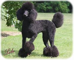 standard poodle hair styles standard poodle cuts google search cute animals pinterest