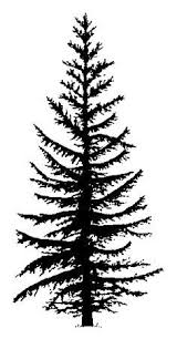 pine tree pictures free best pine tree pictures on