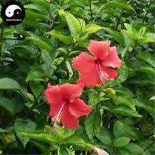 of china tree buy china hibiscus tree seeds 120pcs plant mallow