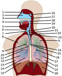 Anatomy And Physiology Muscle Labeling Exercises Free Anatomy Quiz The Anatomy Of The Respiratory System Quiz 3