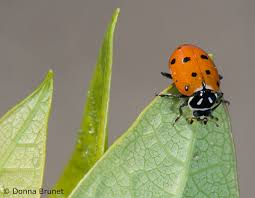 in the land of ladybugs missouri department of conservation