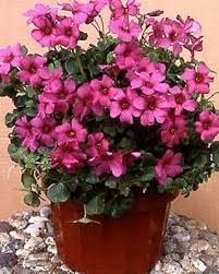 106 best shamrock oxalis plants images on pinterest